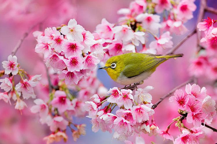 Rosa Sakura. Flor de cerezo